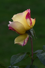 DSC_3189 (PeaTJay) Tags: nikond750 reading lowerearley berkshire macro micro closeups gardens outdoors nature flora fauna plants flowers rose roses rosebuds
