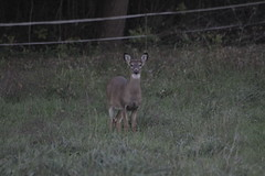 _MG_1919 (thinktank8326) Tags: deer whitetaileddeer fawn doe babyanimal babydeer