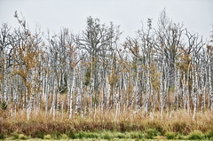 birches (micagoto) Tags: zingst
