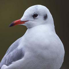Black-headed Gull (peterspencer49) Tags: peterspencer peterspencer49 brownheadedgull uk