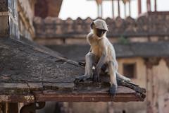Monkey at Jahangir Mahal
