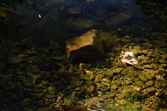Pond_5388 (Omar Omar) Tags: d40 nikond40 50mmlens 50mm 50milimetros 50millimeters playingwith50mm playingwith50millimeteres jugandocon50milimetros joueravec50mm nhm naturalhistorymuseum museumofnaturalhistory histoirenaturel museum muse museo losangeles losngeles losangelesca losngelescalifornia la california californie usa usofa etatsunis usono expopark expositionpark pond lago