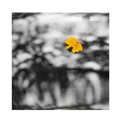 yellow (JuNu_photography) Tags: autumn yellow leaf mapple abstract flickrunitedaward