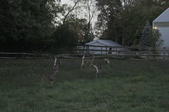 _MG_2055 (thinktank8326) Tags: deer whitetaileddeer fawn doe babyanimal babydeer