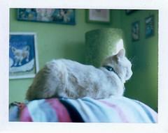 Ned (EllenJo) Tags: polaroidpathfinder polaroidlandcamera convertedpathfinder landcamera polaroid fujifp100c fujiinstantfilm fujifilm 2016 roidweek polaroidweek ellenjoroberts ellenjo instantfilm cat ned pet