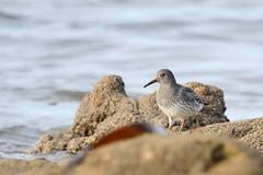 bcasseau violet ( Calidris maritima ) Erdeven 161020d2 (pap alain) Tags: oiseaux chassiers charadriids bcasseauviolet calidrismaritima erdeven morbihan bretagne france
