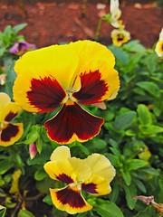 20161025_185642_HDR (Rodrigo Ribeiro) Tags: garden gardening jardim jardinagem flor flower nature natureza