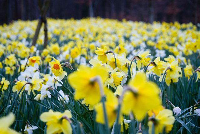 A surfeit of daffodils