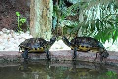 Schildkrte_2 (@ FS Images) Tags: schildkrte kssendeschildkrten canon eos 600d outdoor landschaft natur zoo mnchen hellabrunn wasser tierpark tiere