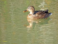Hembra de Azulón (Anas platyrhynchos) (14) (eb3alfmiguel) Tags: aves acuaticas anade azulon hembra