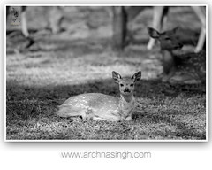 Silent Affirmations of the Enchanted Forest (Archna Singh Photography and Design Studio) Tags: incredibleindia canon wildlife wildindia india antelopes ranthambhore tigers tiger royalbengaltiger
