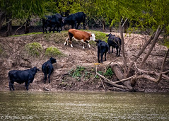 Brazos River Cows (Shilo Wagner Photography and Design) Tags: brazos river waco mclennancounty texas brazosriver cow cows water nature landscape contrast texture trees leaves leaf tree dirt outdoor horizon shilowagner shilowagnerphotography shilowagnerphotographydesign