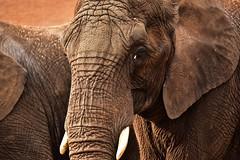 Skin (Pics4life.nl) Tags: elephant skin eye zoo elefant haut auge dierentuin nikon sigma ouwehandsdierenpark texture nature natuur dier detail fabuleuse wise soul