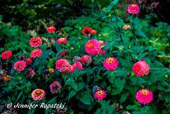 Pink Zinnia (Bernsteindrache7) Tags: autumn sony alpha 100 color flora fauna flower garden bloom blossom blume outdoor landscape park