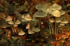 DSC_2021 Helmmycena (Gert_Paassen) Tags: texture fungi paddenstoel paddestoel mushroom pilze helm helmmycena mycena flevoland voorsterbos vollenhove overijssel nederland niederlande netherlands schimmel nature natuur rain sun fall herfst autumn ngc npc