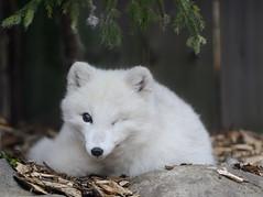 _DSC9521 (rick2907) Tags: artic fox one eye