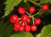 berries (Lynette MT) Tags: revettlake idaho august thompsonpass berry