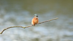 Kingfisher, Juvenile female (Alcedo atthis) (keith.gallie) Tags: kingfisher bird alcedoatthis lake wetland nature reserve outdoors beauty video clip
