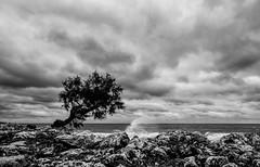Wave goodbye (grbush) Tags: tree lonetree solitude coast coastline shore sea ocean mediterranian waves clouds sky storm rocks blackwhite bw monochrome g3 panasonic lumix lumixg olympusm918mm seaside mallorca
