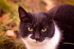 The sly cat... (Eduard.I.P) Tags: cat kitty cats color photography eye animal animals nikon d7200 50mm vaslui romania