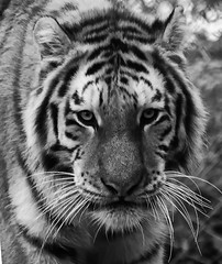Monochrome tiger (ORIONSM) Tags: tiger portrait blackwhite monochrome dartmoorzoo face whiskers stripes olympus omdm10 lumix100300mm