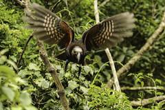 NZ kaka at Zealandia, Wellington (ROGERBEE.) Tags: wellington newzealand newzealandbirds birds zealandia karori