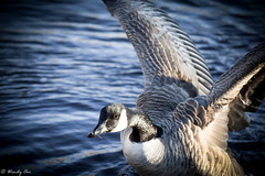 Coming in for a landing...Canada Goose (Wendy Oor) Tags: bird birds goose canadagoose water lake pond animal animals outdoors