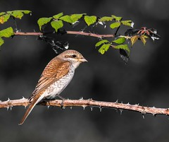 Sometimes less is more (Paul M Loader) Tags: redbacked shrike lanius collurio east sussex