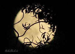 Ikebana Moon (eikeblogg) Tags: moon moonlight silhouette nightcapture contrast framing