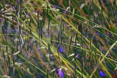 Abstract Grass. (maginoz1) Tags: abstractart manipulate contemporary grass flora bulla melbourne victoria australia spring november 2016 canon g3x