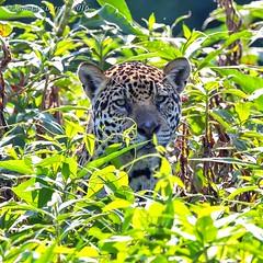 Jaguar (Panthera onca) (Jeluba) Tags: 2016 brazil brsil canon pantanal nature wildlife square carr animal flin jaguar mammal mammifre matogrosso panthersonca