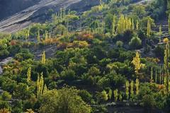 Hopar Nagar, Gilgit Baltistan. Pakistan. (najeebmahmud) Tags: nikon nikond800 nature nikkor nikkor70200mm awesome asia pakistan landscape light lines colorful hills hiking holiday hunza yellow rocks red green trees forest d800