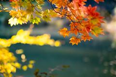 Autumn sunlight (sonica@2006) Tags: autumn sunlight colored leaves glistened with japan yamanashi fall november bokeh xm1 xf35mm fujifilm fujinon platinumheartaward