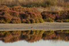 Lonely redshank (jan.stefka) Tags: canoneos7d vodourudonoh stagnodimistras tringatotanus sardinie 2016 commonredshank sardegna sardinia