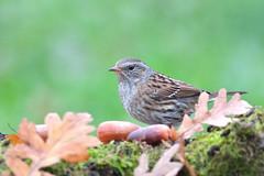 Passera scopaiola (Prunella modularis) (Mascamit) Tags: passera scopaiola prunellamodularis bassanoromano viterbo lazio natura uccello uccelli