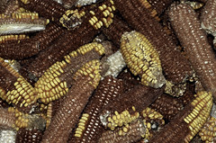 Corn Husks (cowyeow) Tags: shennongjiaforestrydistrict composition asia asian china chinese building farm farming corn yellow color texture harvest shennongjia husk husks hubei
