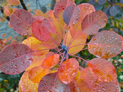 after the rain (angelinas) Tags: trees red canada fall nature colors leaves rain quebec outdoor montreal couleurs calming pluie fallfoliage foliage arbres raindrops stillness feuilles naturelovers lautomne autonno