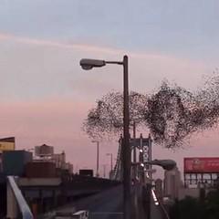 ตื่นตา! คลิปฝูงนก บินเหนือท้องฟ้านิวยอร์ก รวมตัวกันเป็นกลุ่มก้อนแปลกตา  http://nuclear.rmutphysics.com/blog-sci5/?p=5101
