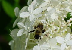 Bee on White Hydrangea (FoxInTheWoods) Tags: white plant flower insect outside bee bumblebee hydrangea botanicgarden macroflower towerhillbotanicgarden