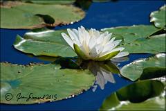 Nawautin Water Lily (Jeannot7) Tags: ontario reflection water pond waterlily bluesky lilypads colborne nawautinnaturesanctuaryandwetlandtrail