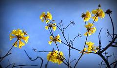 Fim de inverno (Eduardo Amorim) Tags: brazil flower southamerica fleur brasil flor blumen ip pelotas fiore riograndedosul pampa campanha brsil amricadosul fronteira amriquedusud sudamrica suramrica amricadelsur sdamerika ipamarelo tabebuiachrysotricha costadoce americadelsud americameridionale eduardoamorim