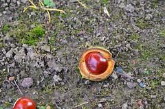 Automne-sous le marronnier (isamiga76) Tags: marron marronnier
