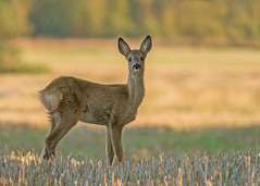 Juvenile Roe Deer doe (Wouter's Wildlife Photography) Tags: nature animal mammal wildlife doe deer explore roedeer billund rådyr ree capreoluscapreolus zoogdier pattedyr