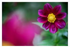 Dahlia (leo.roos) Tags: dahlia purple cine pentacon a7 purplegreen czj ak16 movielens darosa cinelens leoroos carlzeissjenabiotar5014 pentaflexak16