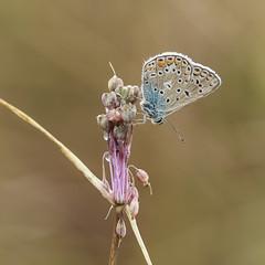 Petit bleu parfait (Mariette80) Tags: papillon isre argusbleu