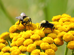 Working together (silverrain64) Tags: flower yellow weeds bee bumblebee nectar pollen roadside tansy