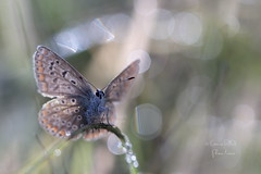 Argus bleu (Polyommatus icarus) - butterfly #1125 (corinne rolland) Tags: butterfly argusbleu eos5dmarkiii 100mmf28lisusm corinnerolland polyo