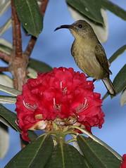 Olive sunbird, Cyanomitra olivacea, at Seldomseen, Vumba, Zimbabwe (Derek Keats) Tags: bird nature zimbabwe nectariniidae olivesunbird cyanomitraolivacea taxonomy:family=nectariniidae taxonomy:binomial=cyanomitraolivacea