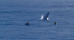 duranbah beach whale (rod marshall) Tags: sophie bikini whales breechingwhales whalesbikinisophie