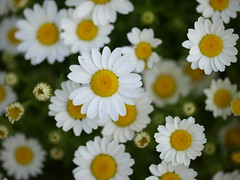 Perfect (Lea Lea) Tags: flowers flower color colour daisies blossom blossoms bloom canberra blooms floriade floriade2015